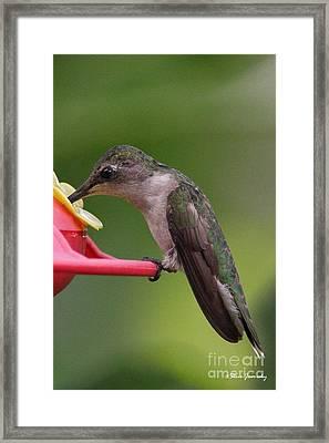 Ruby Throated Hummingbird Framed Print by Steve Javorsky