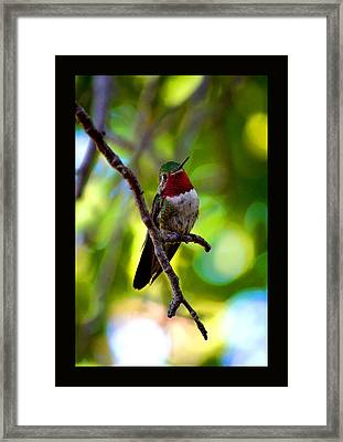 Ruby Throated Hummingbird Framed Print by Susanne Still