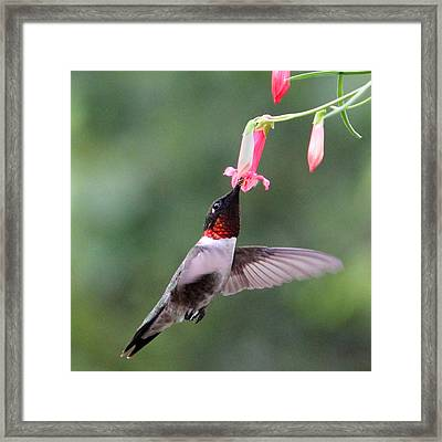 Ruby Throated Hummingbird1 Framed Print by Brook Burling