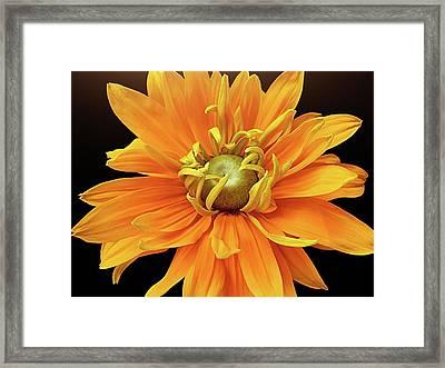 Rudbeckia Petals Framed Print by Gitpix