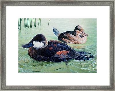 Ruddy Ducks Framed Print by Don Evans