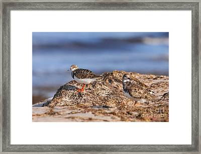 Ruddy Turnstone  Framed Print by Jennifer Zelik