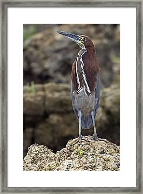 Rufescent Tiger Heron Framed Print by Tony Camacho