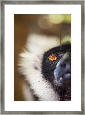Ruffed Lemur Framed Print by Hein Welman