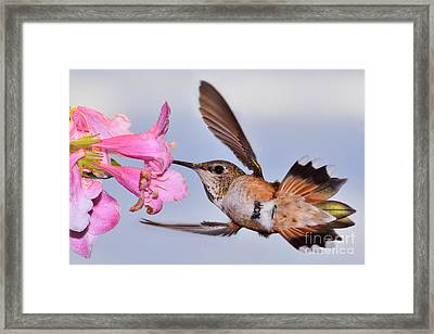 Framed Print featuring the photograph Rufous And Flowers by Jack Moskovita