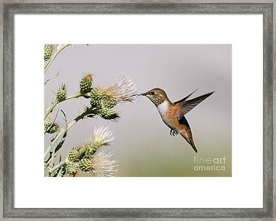 Framed Print featuring the photograph Rufous Hummingbird by Doug Herr