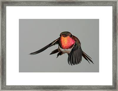 Framed Print featuring the photograph Rufous Hummingbird Downstroke by Gregory Scott