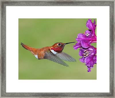 Framed Print featuring the photograph Rufous N Blooms by Jack Moskovita