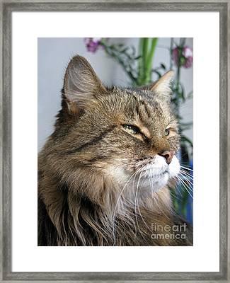 Runcius- My King Kitty Enjoying The Sunshine Framed Print by Ausra Huntington nee Paulauskaite