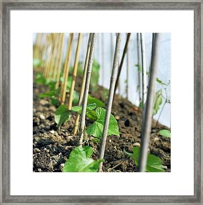 Runner Bean Plants Framed Print