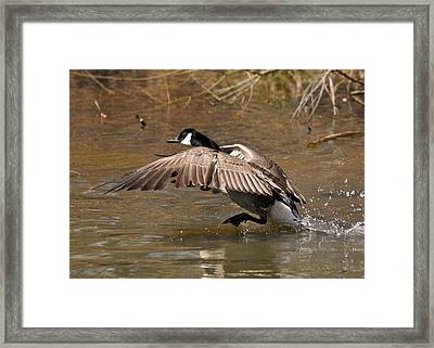 Running Atop The Water Canada Goose  - C2660a Framed Print by Paul Lyndon Phillips
