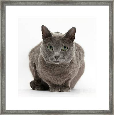 Russian Blue Cat Framed Print by Mark Taylor