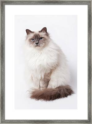 Sacred Birman Cat With Blue Eyes Framed Print by MariaR