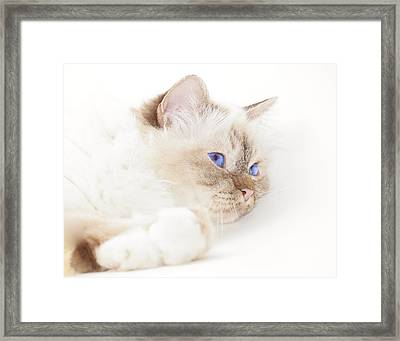 Sacred Cat Of Burma Framed Print