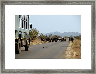 Safari Truck Stopped By A Herd Of African Buffaloes Framed Print by Sami Sarkis