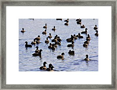 Safety In Numbers Framed Print by Douglas Barnard
