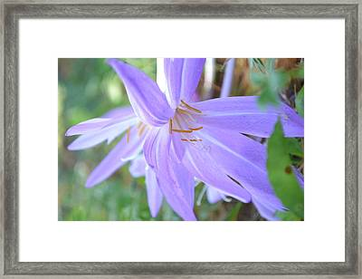 Saffron Flower Framed Print by Paula Deutz