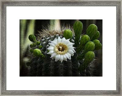 Saguaro Cactus Blooms  Framed Print
