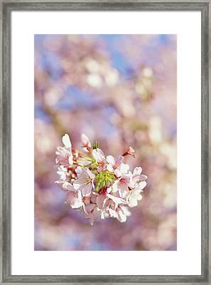 Sakura, Pink Cherry Blossom Tree Framed Print by Bonita Cooke