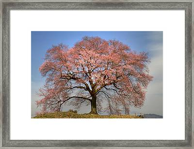 Framed Print featuring the photograph Sakura Sakura 1 by Tad Kanazaki