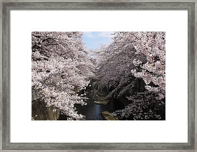 Sakura Tree Near River Framed Print by Matsmasa