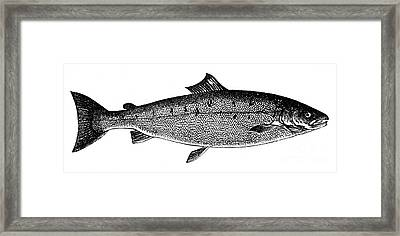 Salmon Framed Print by Granger