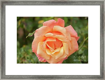 Salmon Rose Framed Print