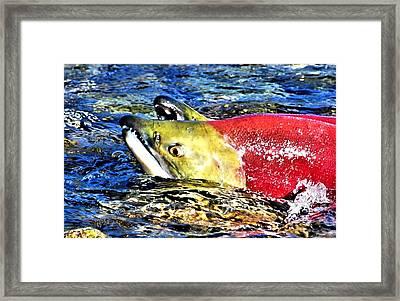 Salmon Struggles Framed Print