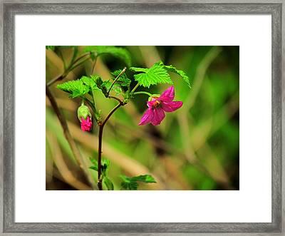 Salmonberry Framed Print