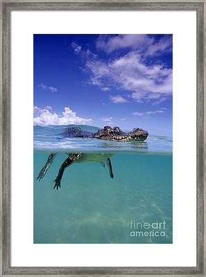 Salt Water Crocodile Framed Print by Franco Banfi and Photo Researchers