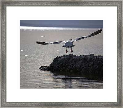 Salton Sea Gull Framed Print