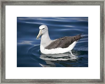 Salvin's Albatross Framed Print
