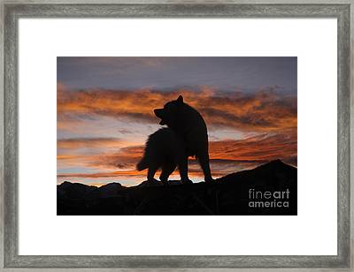 Samoyed At Sunset Framed Print by Kent Dannen and Photo Researchers