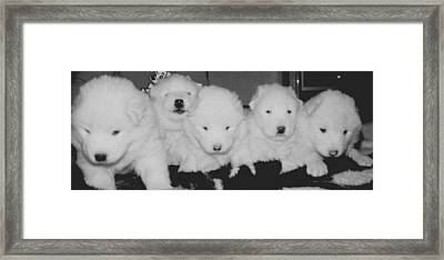 Samoyed Puppies Framed Print by Tammy Sutherland