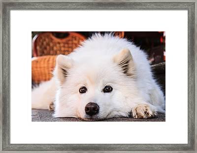 Samoyed Puppy Framed Print