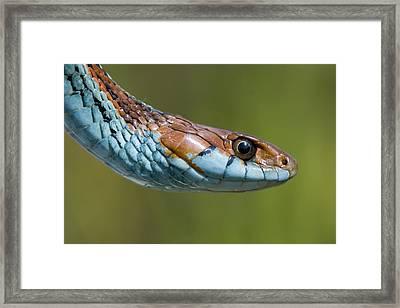 San Francisco Garter Snake Portrait Framed Print