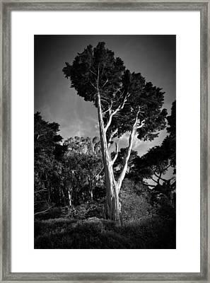 San Francisco Tree Framed Print by Matt  Trimble