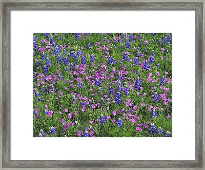 Sand Bluebonnet And Pointed Phlox Framed Print by Tim Fitzharris