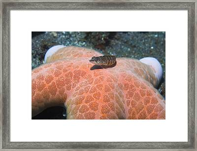 Sand Perch On A Granulated Starfish Framed Print by Georgette Douwma