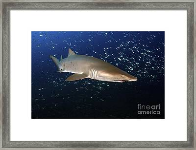 Sand Tiger Shark Off The Coast Of North Framed Print by Karen Doody