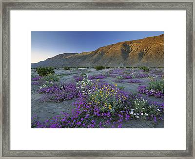 Sand Verbena And Desert Sunflowers Framed Print