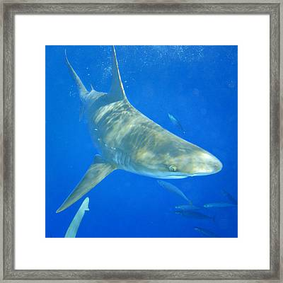 Sandbar Shark Framed Print
