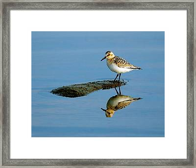 Sanderling Reflecting Framed Print by Tony Beck