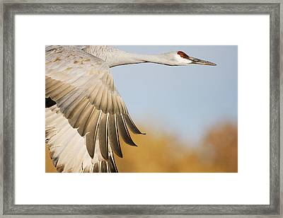 Sandhill Crane Flying Bosque Del Apache Framed Print by Sebastian Kennerknecht