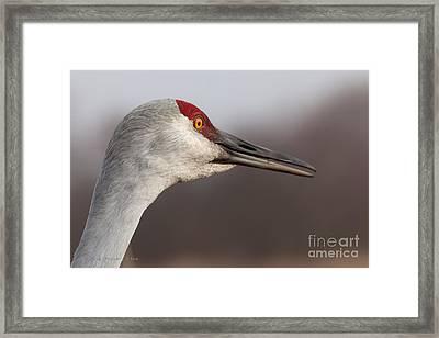 Sandhill Crane  Portrait I Framed Print