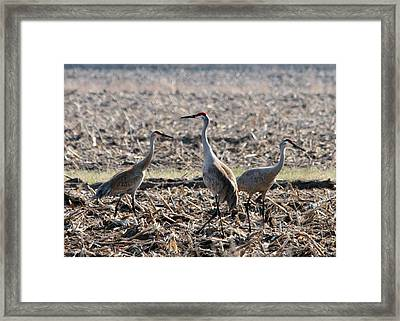 Framed Print featuring the photograph Sandhill Crane Trio by Mark J Seefeldt