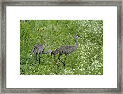 Framed Print featuring the photograph Sandhill Cranes And Chick by Bradford Martin