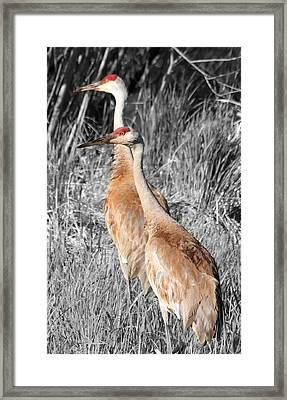 Sandhill Cranes In Select Color Framed Print