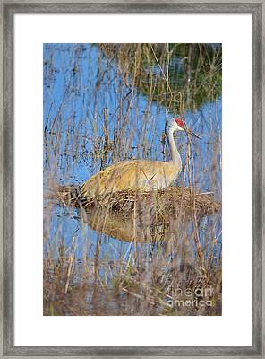Sandhill Sitting Framed Print by Lynda Dawson-Youngclaus