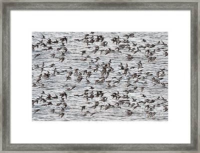 Framed Print featuring the photograph Sandpipers In Flight by Dan Friend